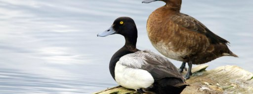 lesser_scaup_ducks