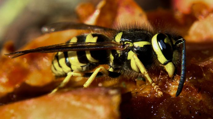 whats_the_point_of_wasps_turns_out_they_do_a_lot_more_than_you_think_-_2