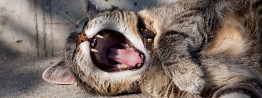 yawning-cat-with-sharp-fangs