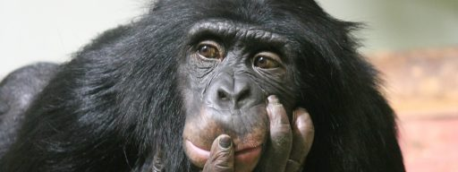 chimpanzee_willpower_is_directly_related_to_their_smarts_so_does_self-control_has_an_evolutionary_role_in_intelligence_1