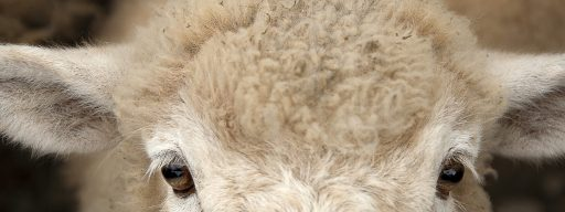 human-sheep_hybrid_scientists_just_engineered_a_human-sheep_hybrid_for_growing_organs_-_2