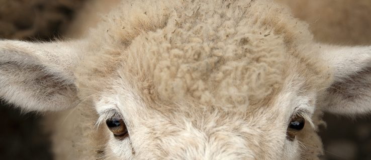 Human-sheep hybrid: Scientists just engineered a human-sheep hybrid for growing organs