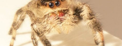 meet_kim_the_spider_researchers_have_taught_to_jump_on_command