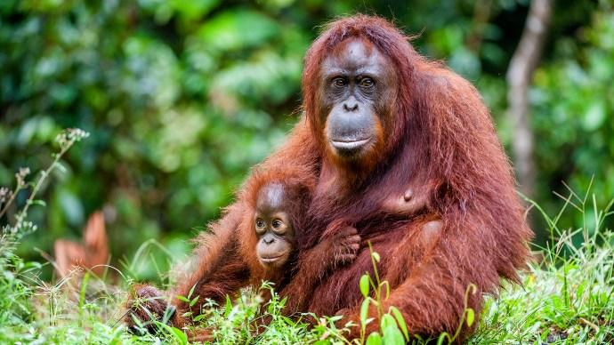 tech_save_the_world_-_orangutans