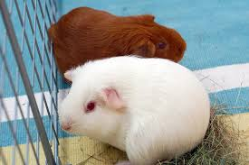 two guinea pigs in a cage