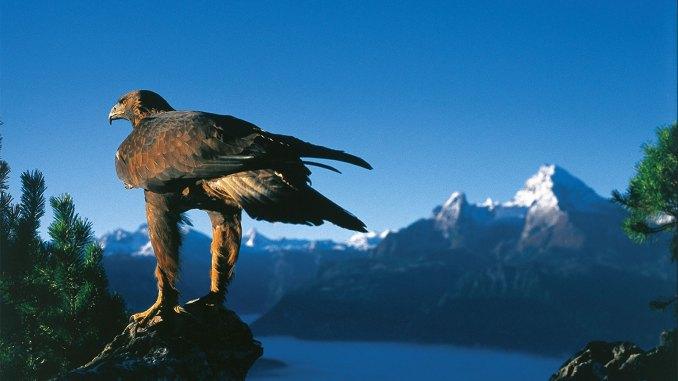 Mit etwas Geduld ist es möglich, einen beeindruckenden Steinadler zu beobachten. // Foto: Berchtesgadener Land Tourismus
