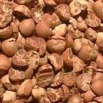 Nueces de betel