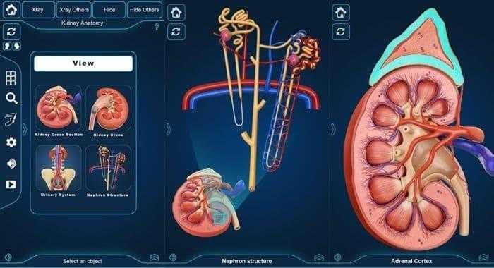 برنامج التركيب التشريحي للكلى - Kidney Anatomy