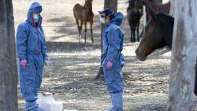 الأجسام المضادة المُشتقة من دم الخيول