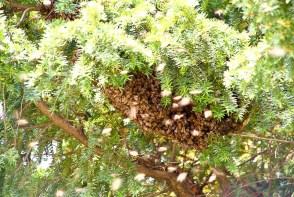 Das Bienenvolk in der Eibe am Turm