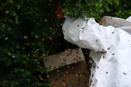 """Insg. 3x wurden Bienen von der Eibe """"abgeklopft"""""""