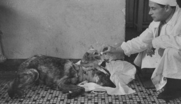 Vladimir Demikhov's two-headed dog creation shown eating and drinking
