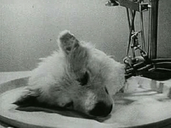 """A surviving """"head"""" in one of Vladimir Demikhov's experiments"""