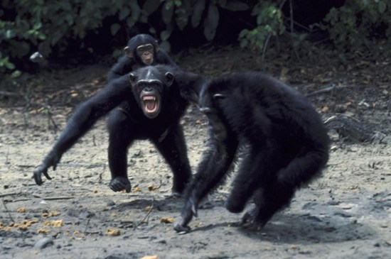 Chimpanzees kidnapped, raped, and murdered during the 1975 Gombe Chimpanzee War