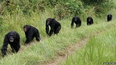 During the Four-Year War, chimps patrolled the boundaries looking for enemies to attack