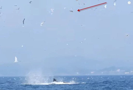 Stunning series of photographs captures orca killer whale punting a seal over 8-stories into the air
