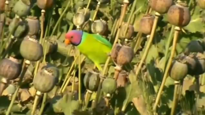 Parrot in a poppy field