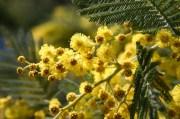 Mimosa 120219 Altiplus (12)