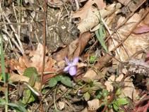 Fête des violettes tourettes sur loup