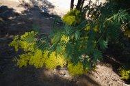 2014-03-02-Altiplus-Pegomas-Tanneron-Mimosa-Joelette-IMG_4216