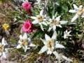 Edelweiss et Joubarbe