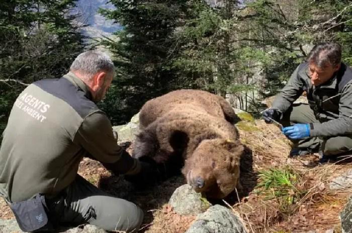 La mort de l'ours Cachou pas si naturelle ? Une première arrestation en Espagne !