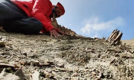 Fossiles Ladakh palmiers