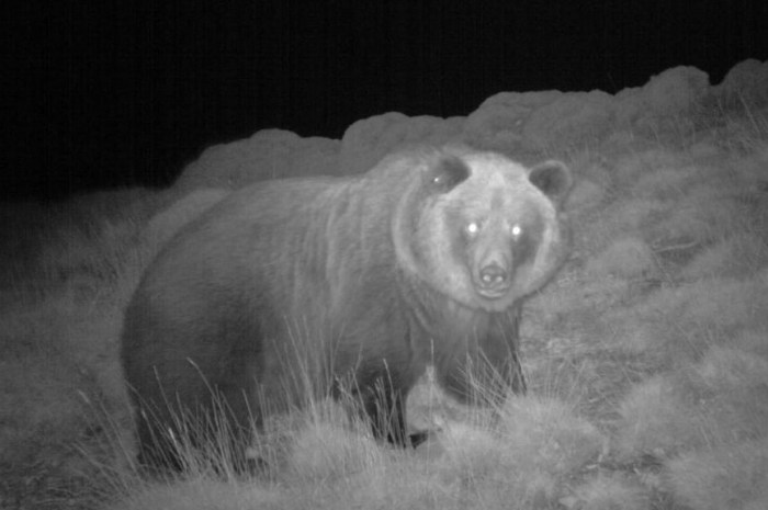 2020 : une année noire pour les ours dans les Pyrénées !