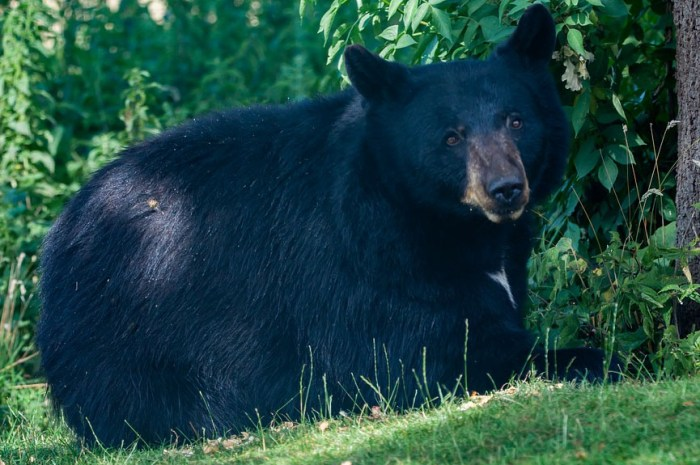 Poursuivi par un ours noir, ce joggeur garde son calme !