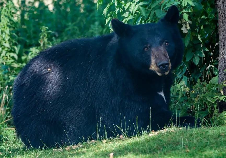 ours noir