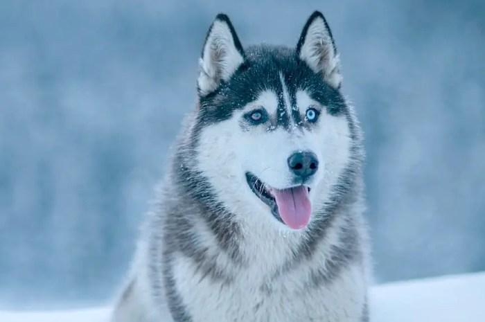 Des stations de ski de Finlande se développent, les chiens de traineaux à l'agonie !