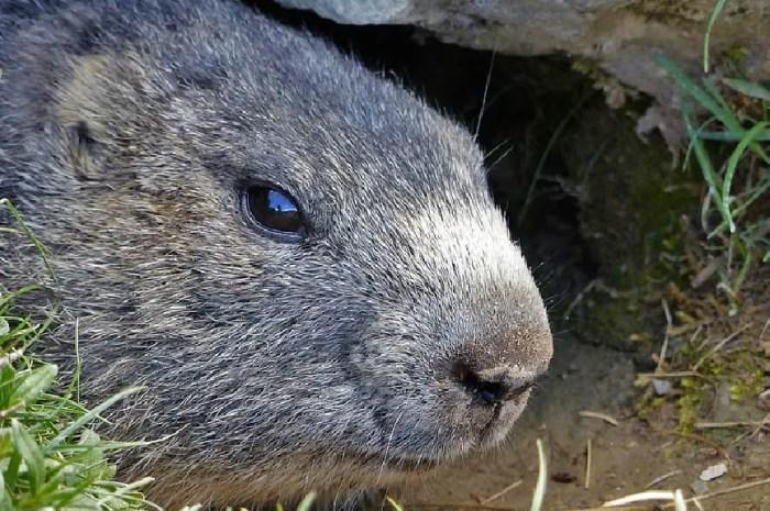 Bientôt la fin de la chasse à la marmotte en France ?