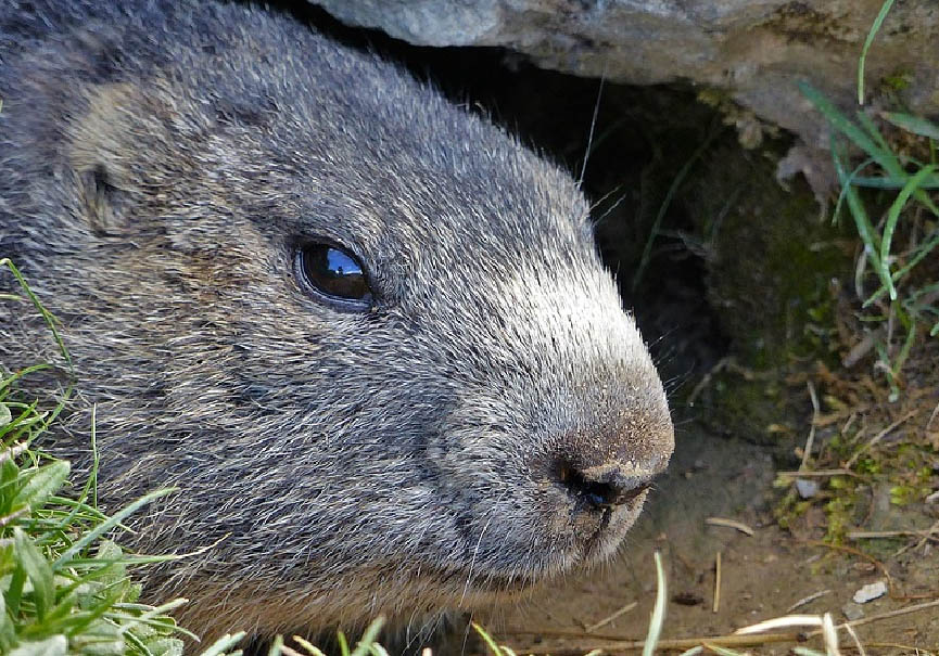 chasse marmotte