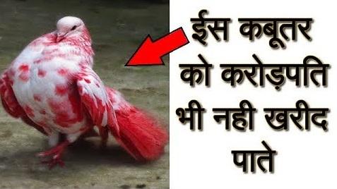 ये है दुनिया का सबसे महंगा कबूतर, जिसकी कीमत जानकर आप भी दंग रह जायेंगे