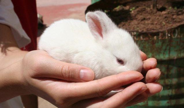 Curiosidades sobre coelhos. Na foto, um coelho em uma mão