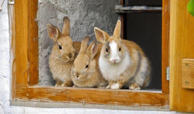 Curiosidades sobre coelhos. Na foto, três coelhos parados em frente a uma porta