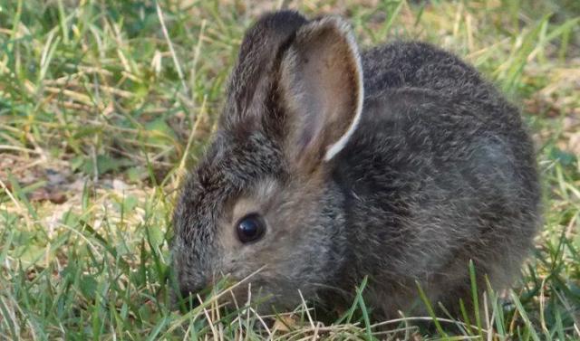 Curiosidades sobre coelhos. Na foto, um coelho cinza numa grama