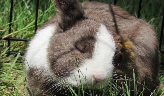 Curiosidades sobre coelhos. Na foto, um coelho dormindo