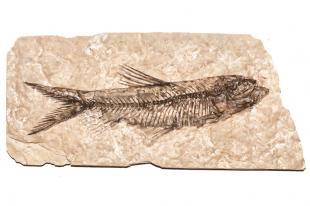 Un fossile