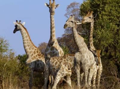 giraffes-in-large-group-in-pilanesberg