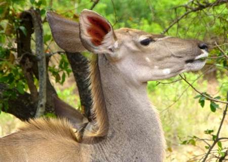 head-of-kudu-femal-feeding