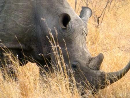 Rhino-face-horn