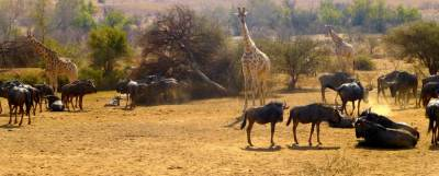 giraffe-and-wildebeest-at-waterhole-fighting-for-salt-lick