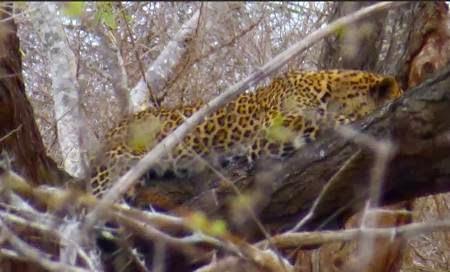 Leopard-sleeping-in-tree-south-africa