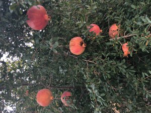 Pomegranates-on-tree