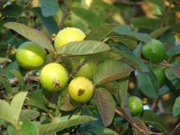 زراعة غزة : تراجع في المساحات المزروعة بمحصول الجوافة هذا المواسم