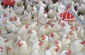 الزراعة توضح أسباب ارتفاع أسعار الدجاج في غزة
