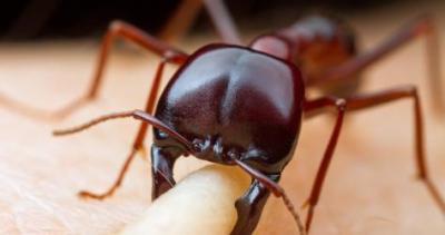 اكتشاف فظيع: نمل انتحاري يفجر نفسه إذا غضب