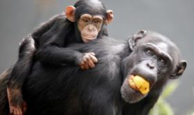 بالفيديو.. شمبانزي يلاعب صغيره كالبشر تماما!