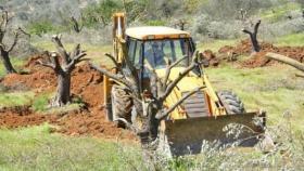 مستوطنون يقتلعون أشجار زيتون في منطقة الحمرا شرق يطا